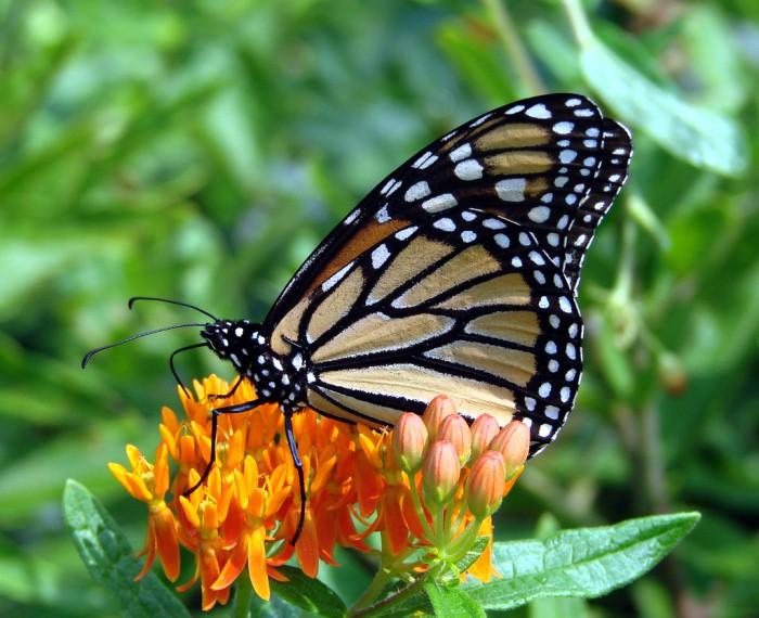 Algunas curiosidades sobre las mariposas