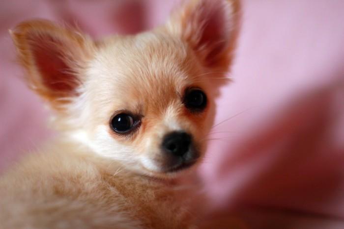 Curiosidades sobre los Chihuahuas
