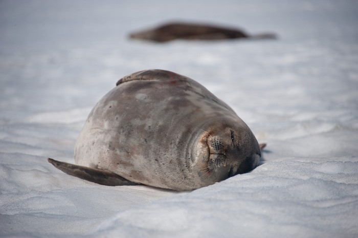 La foca de Weddell, toda una guerrera de la Antártida