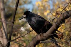 Conociendo nuestra fauna, córvidos: graja, grajilla y corneja (IV)