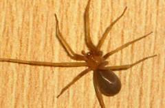 La araña violinista, un insecto muy venenoso