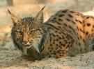 Lince Ibérico: más en peligro de extinción que nunca