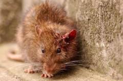Ratas, sucias pero útiles