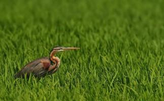 Las 10 aves acuáticas más emblemáticas de la Red Natura 2000