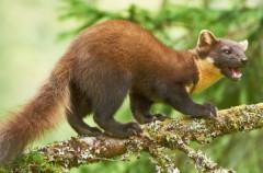 Conociendo nuestra fauna, mustélidos: marta y garduña (II)