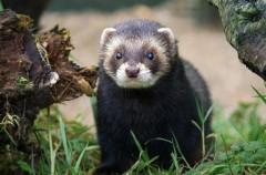 Conociendo nuestra fauna, mustélidos: turón y tejón (III)