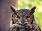 5 curiosidades sobre los búhos