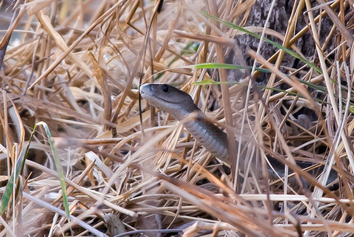 La mamba negra, la serpiente más venenosa de África