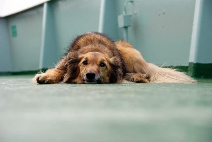 Las 10 enfermedades más comunes en perros