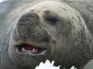 El elefante marino del sur, el carnívoro más grande del mundo