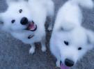 El samoyedo, una de las razas de perro más hermosas del mundo