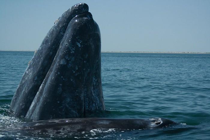 El Vizcaíno, un santuario de ballenas excepcional