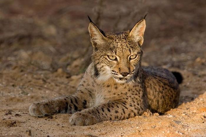 Algunas curiosidades sobre el lince ibérico, el felino más amenazado del mundo