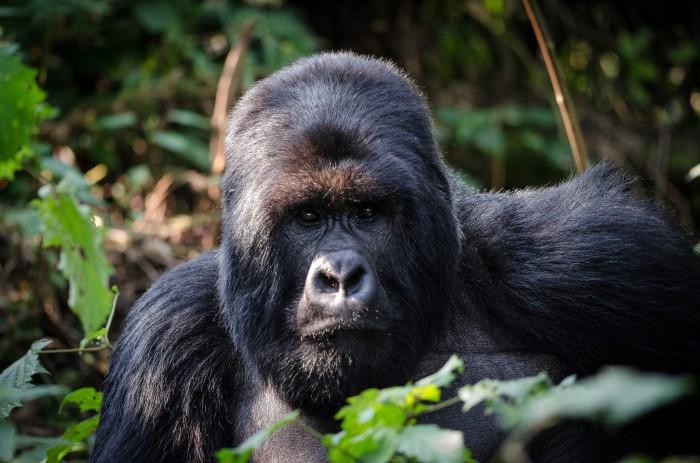 El gorila de montaña, otra especie en peligro de extinción