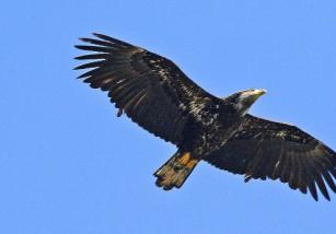 Varias curiosidades sobre el águila pescadora