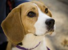Los beagle, una de las razas más populares