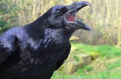 Cuervos: algunos de sus datos más curiosos