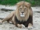 Animales salvajes como mascotas: algo muy peligroso