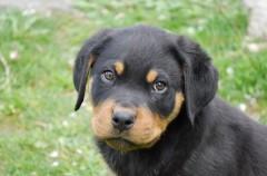 Contratando un seguro para tu perro de raza peligrosa