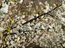 La floración del cerezo y el almendro, un espectáculo primaveral