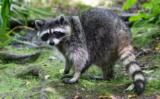 Especies invasoras: el mapache