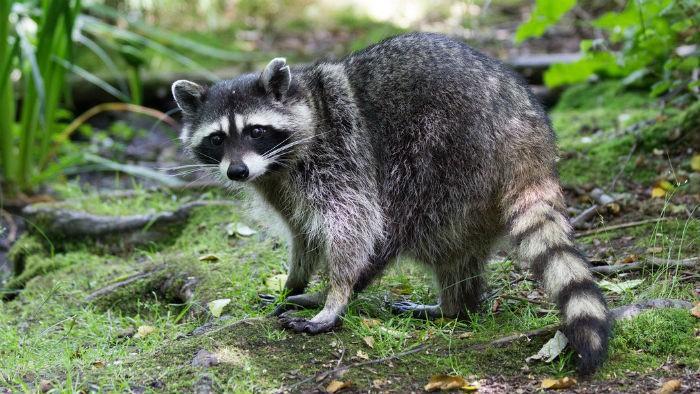 mapache