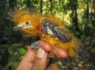 La plañidera cenicienta, o el ave que imita a las orugas venenosas