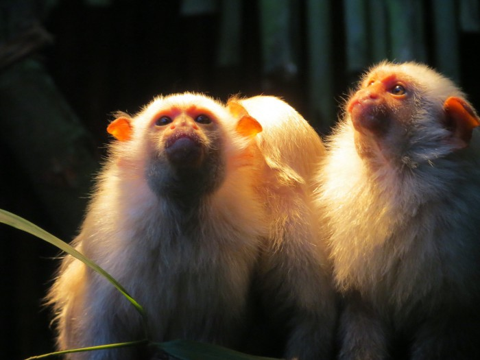 El tití pigmeo, el mono más pequeño del mundo