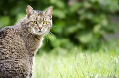 Curiosidades sobre los felinos (y no sólo de gatos)