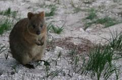 Así es el Quokka: un marsupial adorable, cariñoso y muy gracioso