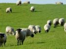 Los drones también hacen funciones de pastoreo