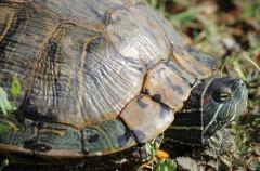 Cuidados para las tortugas de agua dulce