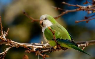 Especies invasoras: la cotorra argentina