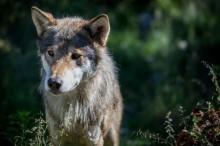 El lobo y su predisposición a la adopción
