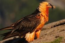 El proyecto Life Euro SAP luchará por la recuperación de aves como el buitre negro o la malvasía cabeciblanca