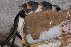 No destruyas nidos de golondrinas, aviones o vencejos ¡Esta prohibido!