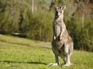 Algunas curiosidades sobre los canguros