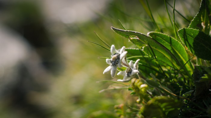 Edelweiss, la flor de las nieves