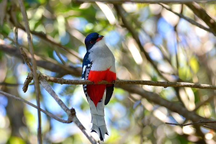El tocororo, una especie endémica de Cuba
