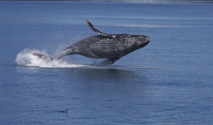 Algunas curiosidades sobre las ballenas