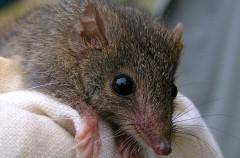 Antechinus, un marsupial que copula hasta desintegrarse