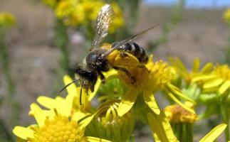 La desaparición de las abejas está causada por los campos electromagnéticos