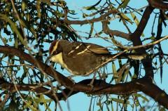 Pomatostomus ruficeps, o el ave que habla
