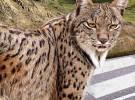 Los atropellos de fauna salvaje y el coste millonario que supone para los españoles