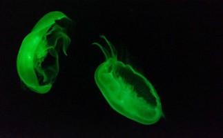 Las medudas fosforescentes japonesas llegan al Mediterraneo