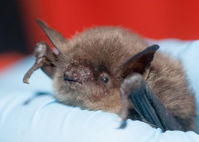 Algunas curiosidades sobre los murciélagos