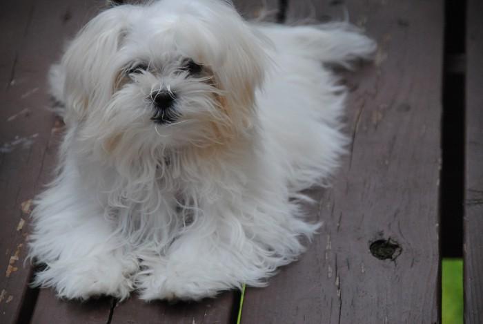 El bichón maltés, un encantador perro miniatura