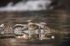 Algunas curiosidades sobre los cocodrilos