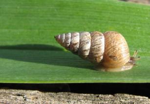 Pinchando: así se reproducen los caracoles