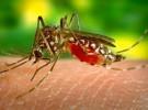Así seleccionan los mosquitos a sus próximas víctimas